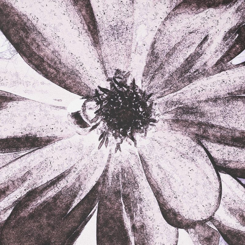 Illustration / photograph of a pink dahlia