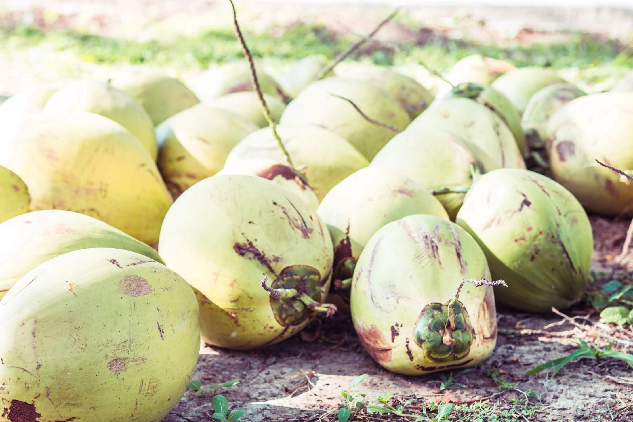 Coconuts at Whales & Waves Resort in Sumbawa, Indonesia - The most amazing place I've ever been