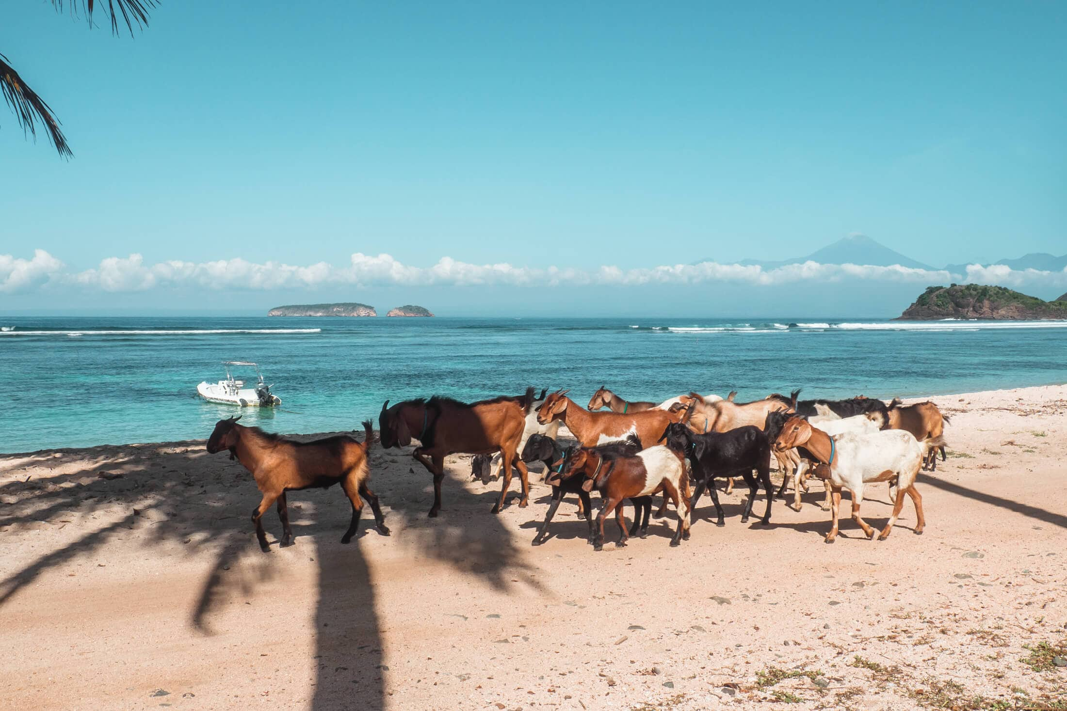 Goats on Kertasari Beach, Whales & Waves Resort in Sumbawa, Indonesia - The most amazing place I've ever been