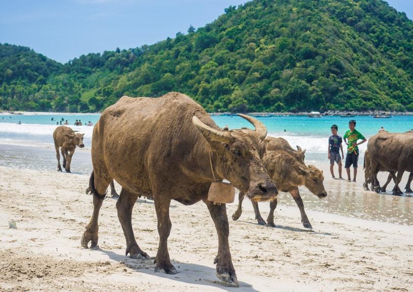 Water buffalo at Selong Belanak Beach, Lombok