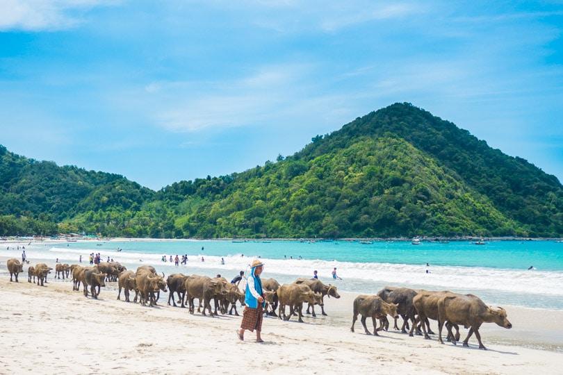 Water buffaloes at Selong Belanak Beach, Lombok