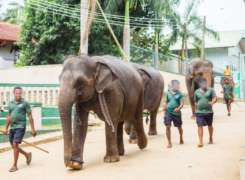 Pinnawala Elephant Experience - Animals in chains