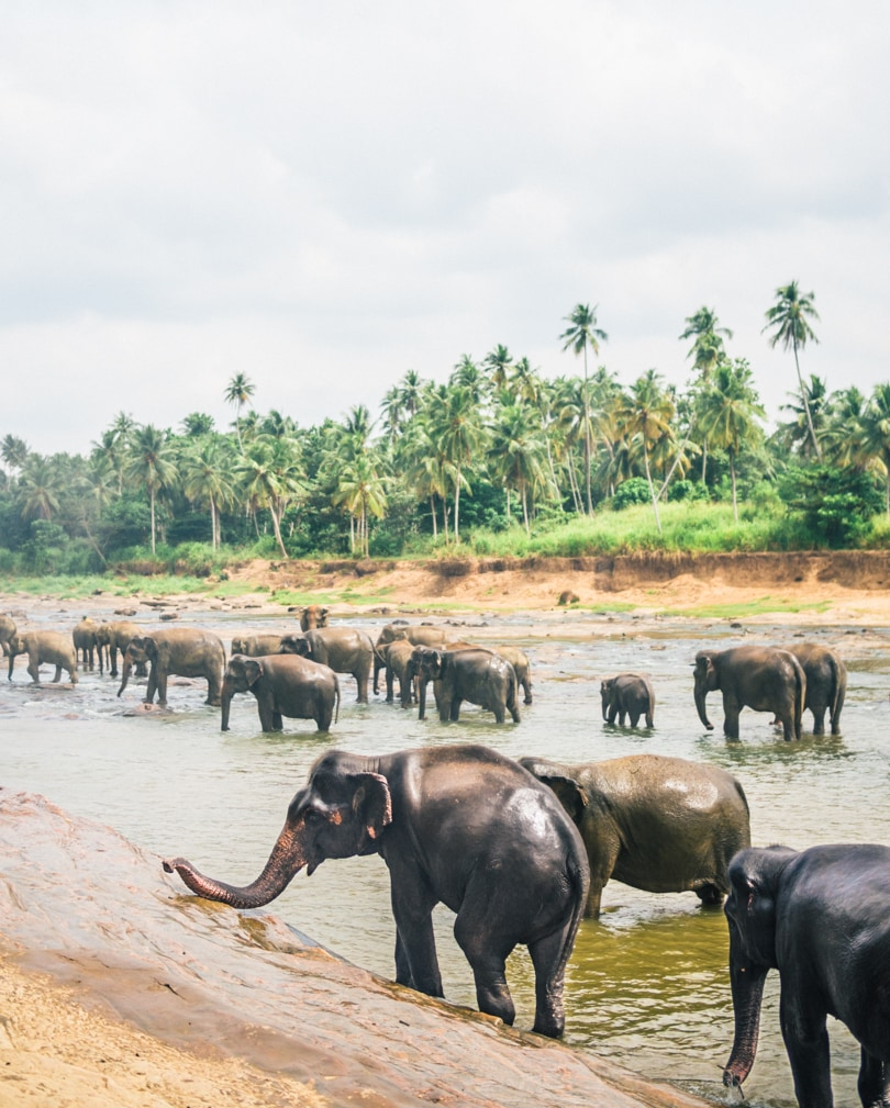 The Pinnawala Elephant Experience, Sri Lanka - Elephants bathing in the river