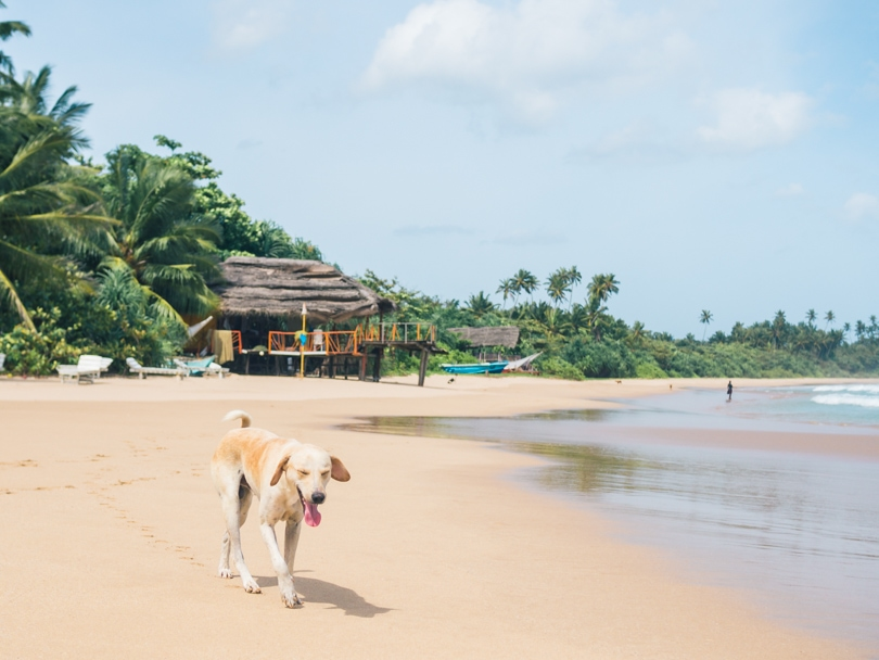 Talalla Beach, Sri Lanka - Tropical Paradise Dog