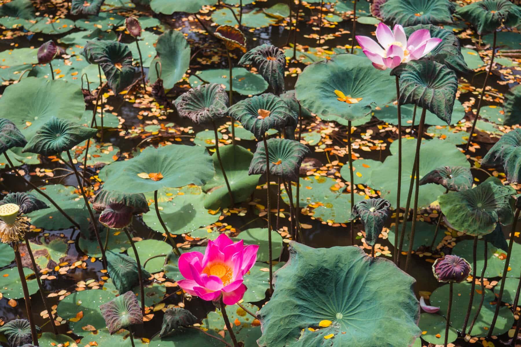 Island Life #4 - Beautiful Lotus flowers at Ubud Palace