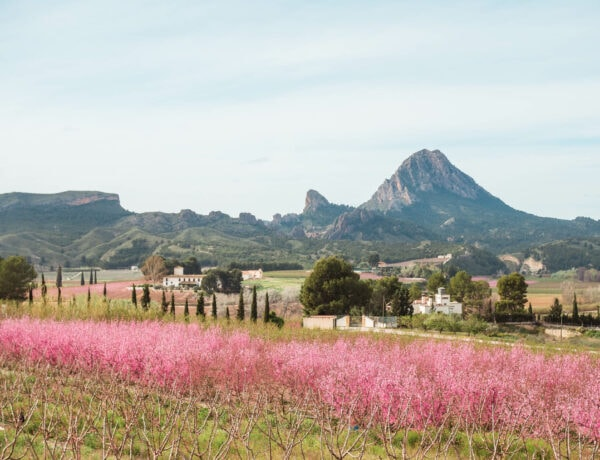 View of a field of stunning peach tree blossoms in Cieza, Murcia, Spain