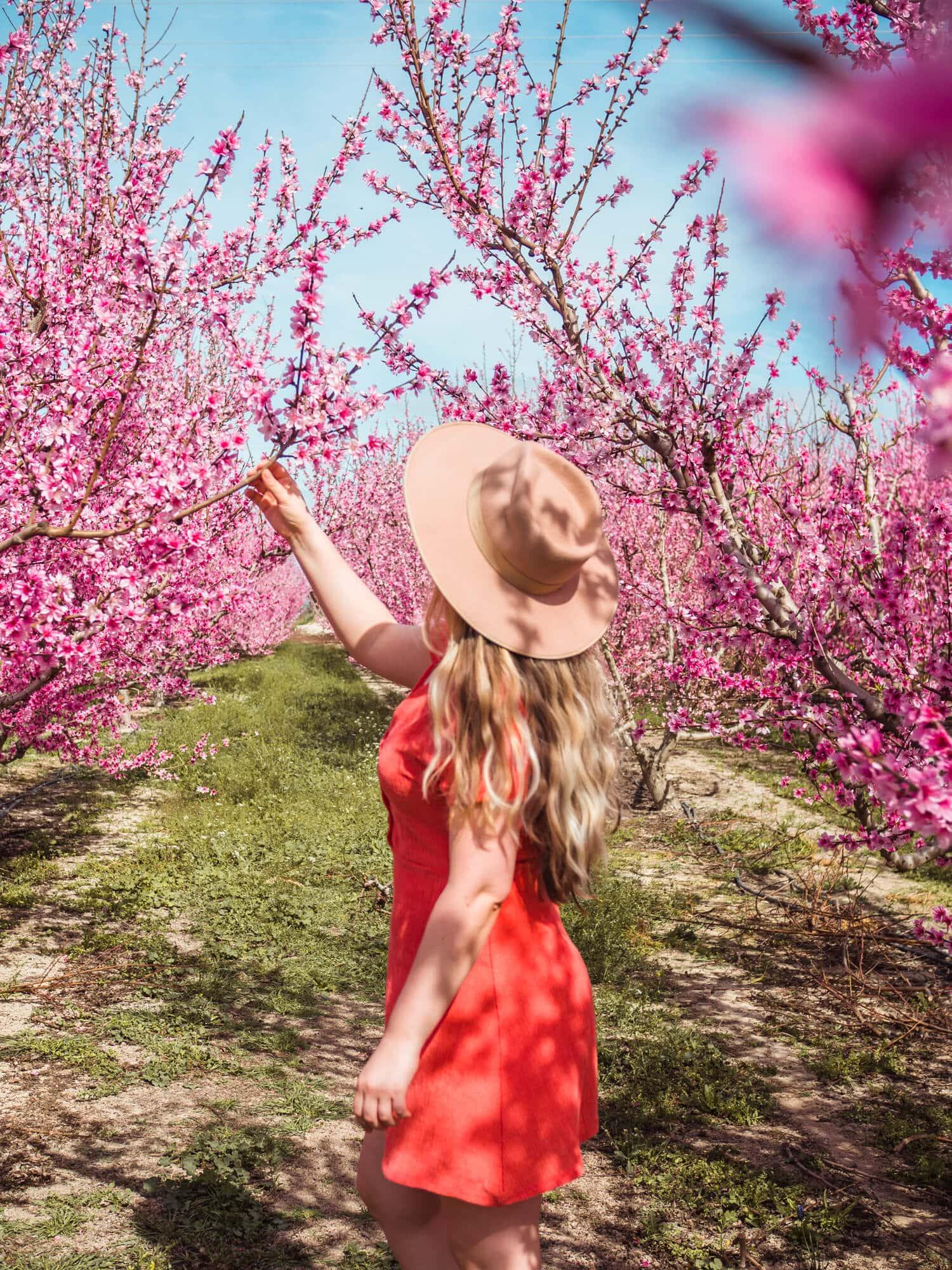 Smelling the sweet peach tree blossoms at Floración de Cieza in Murcia, Spain