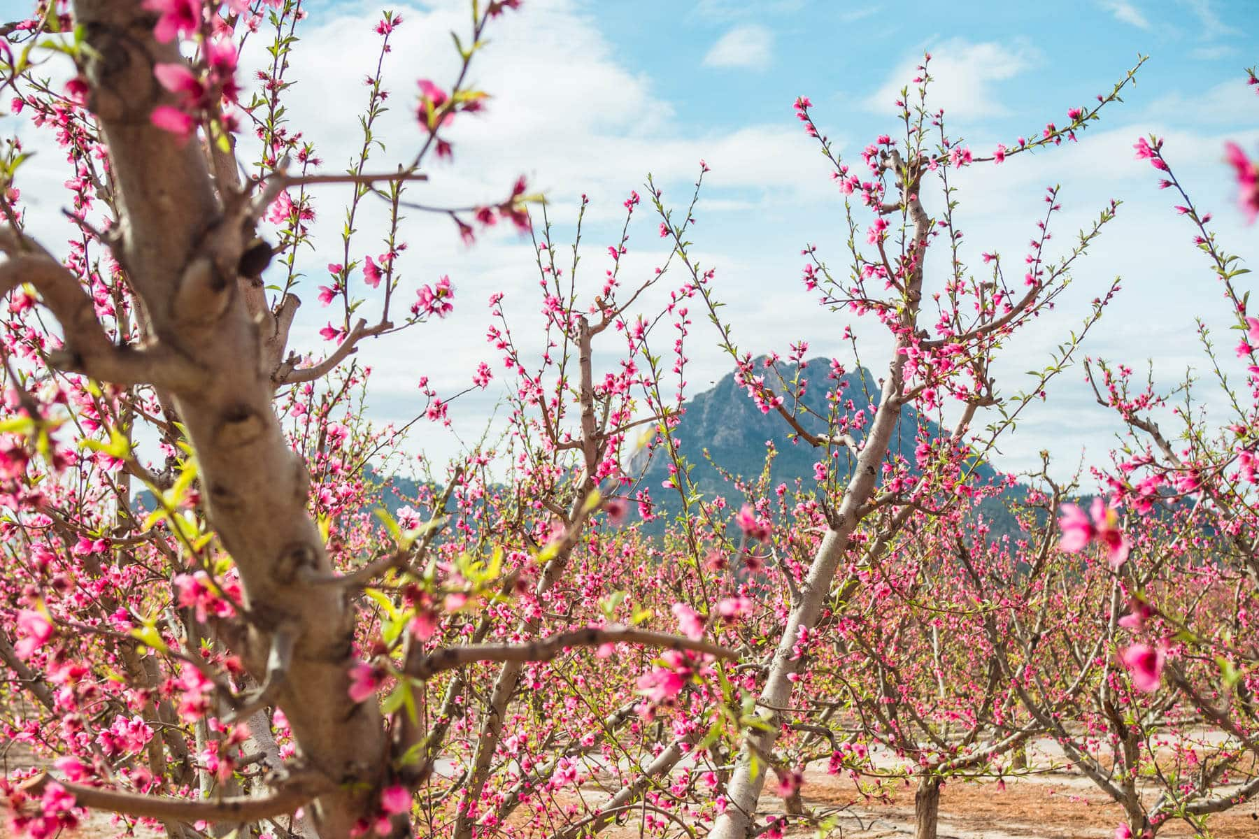 Close up view of beautiful peach tree blossoms in the little town of Cieza in Murcia, Spain