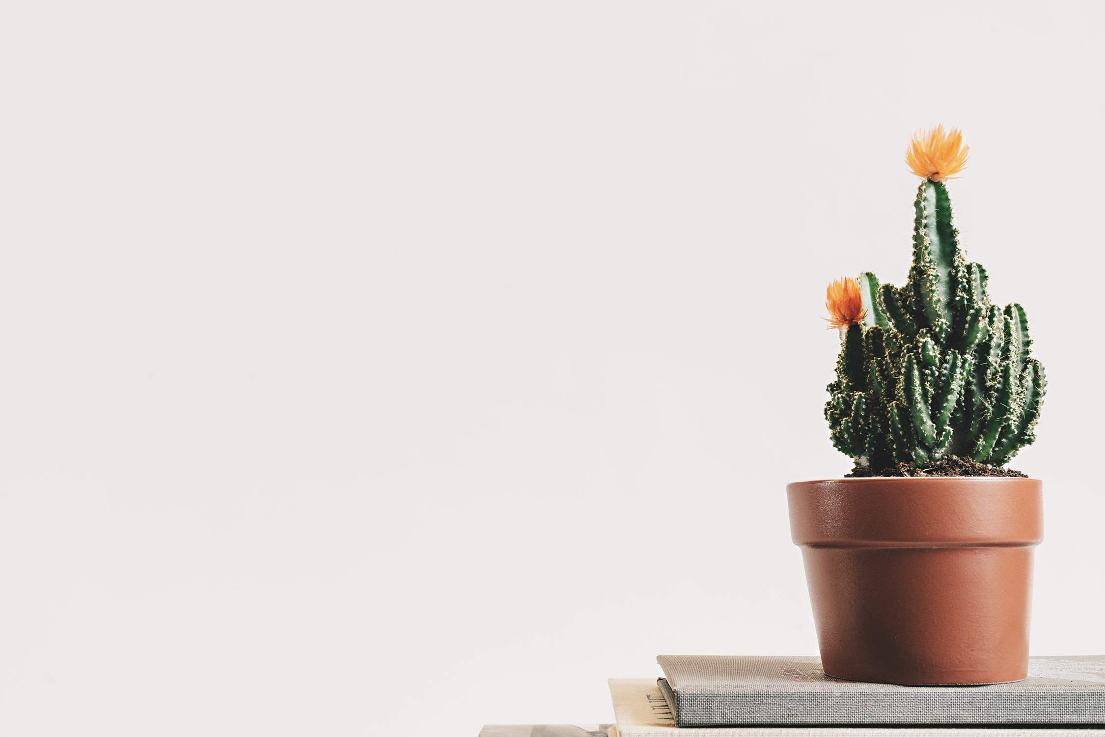 Rolig kaktus