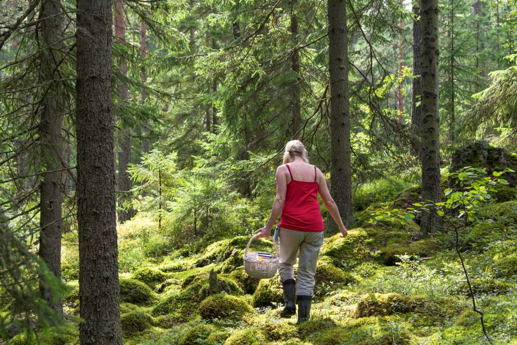 Woman picking mushrooms and berries in svartedalen
