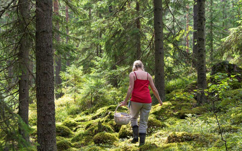 Woman picking mushrooms and berries in svartedalen
