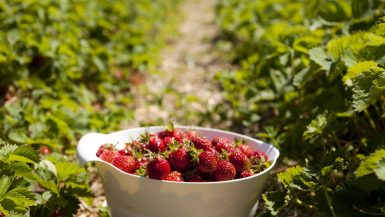 Pluk selv jordbær