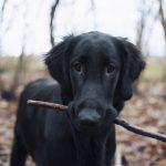 Svart hund med pinne