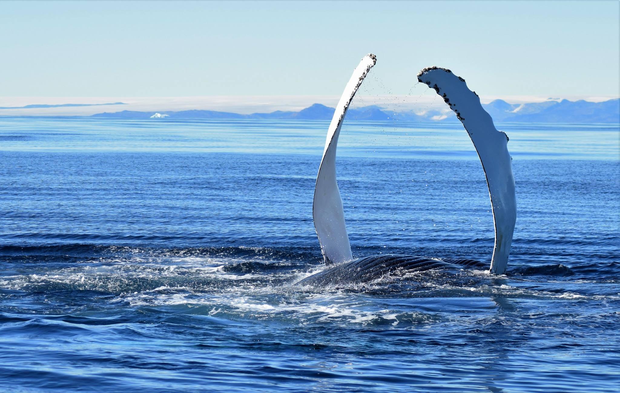 Humpback whale near Tasiilaq