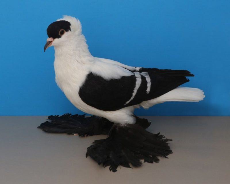 Saxon Fullhead Swallow Black White Bar YC 894 Chris Auer 2020 Amarillo National Photo-Layne Gardner