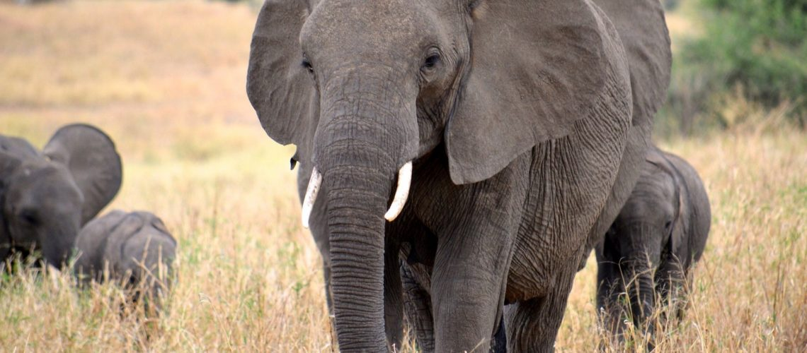 Olifant_Megan Coughlin_2