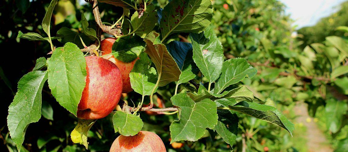 apple orchard_Emily Jackson