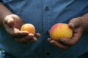Bill Bader shows a comparison between a healthy peach, right, next to one of the smaller peaches that have been a common sight in his orchard, near Campbell, Mo.