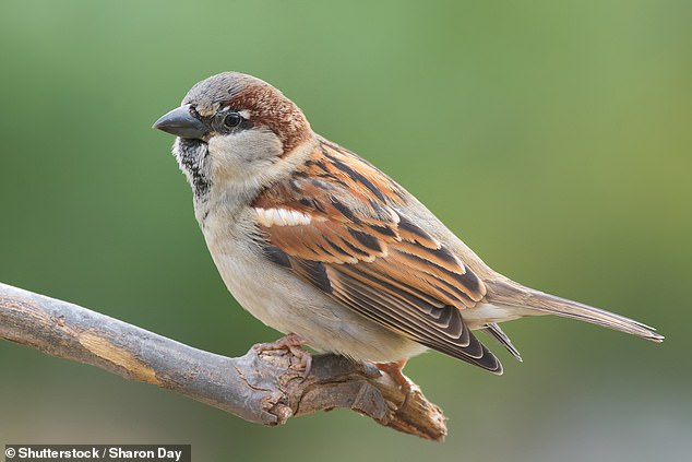 Chirping sparrows were once seen commonplace in almost all British gardens but since the 1970s has struggled to adapt to the rapidly changing modern world. But in the last decade they have shown steady population growth (stock photo)