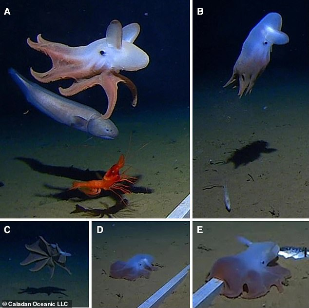Researchers on theFive Deeps Expedition to explore the deepest points in the world's five major oceans observed a 'dumbo' octopus at 23,000 deep in the Java Trench, the deepest ever octopus sighting on record