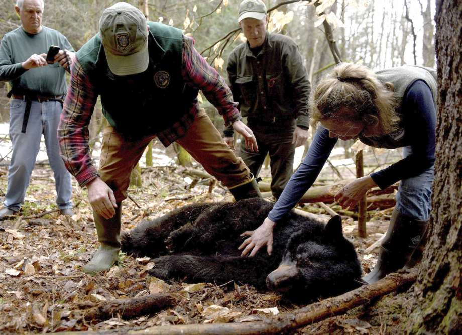 FILE - In this April 13, 2018 file photo, Andrew Timmins, bear project leader with the New Hampshire Department of Fish and Game, steps over a tranquilized black bear as Nancy Comeau, right, of the USDA wildlife services, keeps a hand on the bear after it had been moved onto her side in Hanover, N.H. The bear, tagged and relocated to far northern New Hampshire, was found dead in late August 2020. One of its three cubs was struck and killed by a bus on Monday, Sept. 14, 2020, after it ran onto Route 10 in West Lebanon, N.H. (Jennifer Hauck/The Valley News via AP, File) Photo: Jennifer Hauck, AP / Copyright © Valley News