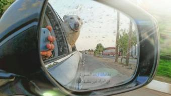 Car rear view mirror shows white German shepherd poking its head out of rear window.