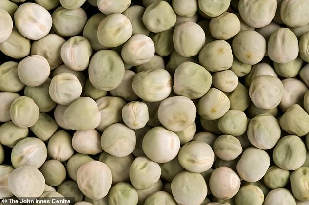 Over a series of experiments, the team gave volunteers a mixed meal including 50 grams of wrinkled peas, and in a series of control experiments gave them regular 'smooth' peas (pictured here)