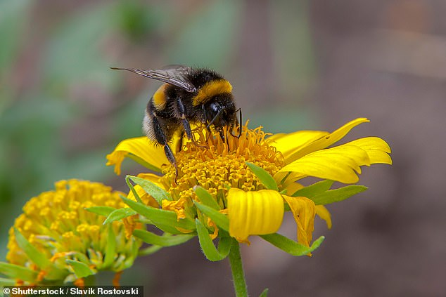 Scientists at the University of Exeter compared the foraging patterns over time of both large and small bees