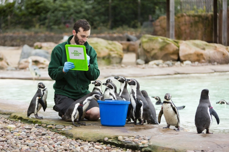 Undated handout photo issued by ZSL of zookeeper Paul Atkin counting the Humboldt penguins during the ZSL London Zoo annual stocktake. PA Photo. Issue date: Wednesday January 6, 2021. Photo credit should read: ZSL/PA Wire NOTE TO EDITORS: This handout photo may only be used in for editorial reporting purposes for the contemporaneous illustration of events, things or the people in the image or facts mentioned in the caption. Reuse of the picture may require further permission from the copyright holder.