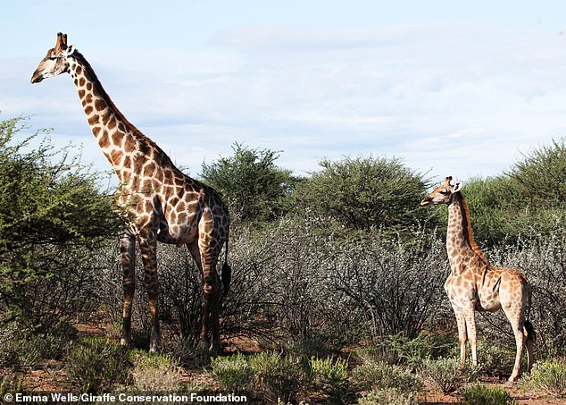 Conservation scientists discovered a Nubian giraffe (left) in Uganda that is nine feet, four inches tall and then an Angolan giraffe that stood just eight and a half feet. Baffled by both observations, the researchers could only come to one conclusion ¿ dwarfism