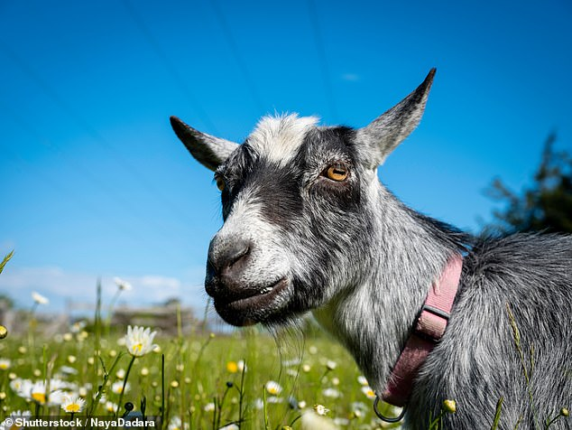 Goats often enjoy working for life's little treats — rather than simply having them handed to them on a plate — a study has concluded. Pictured: a dwarf goat (stock image)