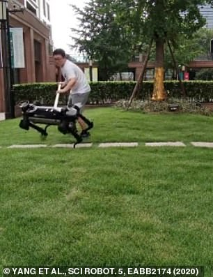 A human operator knocks the robot dog over with a stick