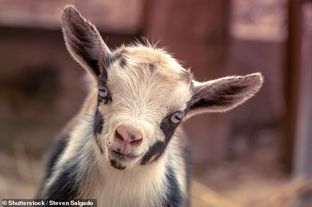 The team believe that the goats derive a sense of satisfaction — as well as control over their surroundings — by choosing the treat that involves solving a task first. The findings, they added, could be used to help improve animal husbandry practice to better ensure that goats receive adequate amounts of mental stimulation. Pictured: a newborn Nigerian dwarf goat