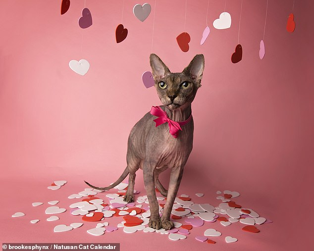 A Censuswide poll of 1,026 UK cat owners last month found that 96 per cent of feline parents were unaware exactly how much cat litter is buried in landfill each year. Pictured, Mr February isWalter the Sphynx cat from Knoxville, Tennessee, who is in the Valentine's Day mood