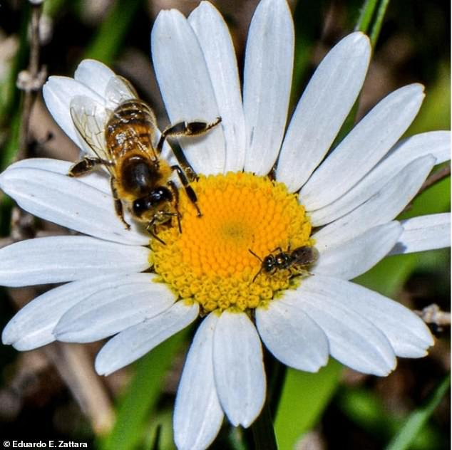 An introduced honey bee and a smaller native sweat bee (Ruizanthedella mutabilis) share a flower in a Patagonia forest