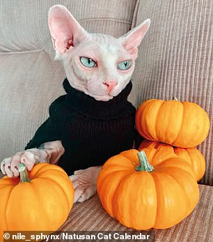 The hairless sphynxes and bambinos — so-called 'naked cats' — were snapped by Natusan, a British firm which makes eco-friendly, biodegradable litter. Pictured, with his Halloween pumpkins, October's Nile the Sphynx cat from Garden Grove, California, is no scaredy cat