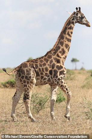 The Nambian giraffe has limited mobile due to his shorter legs and the researchers fear it makes him susceptible to predication, even as an adult