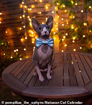 The hairless sphynxes and bambinos — so-called 'naked cats' — were snapped by Natusan, a British firm which makes eco-friendly, biodegradable litter. Pictured, Mr November is Blueberry the Sphynx cat from London, England (right)