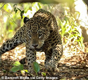 At more than 200 pounds, the jaguar is the largest cat species in the New World.