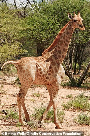 An Angolan giraffe, nicknamed Nigel, was living on a private farm in central Namibia and was also monitored in the same fashion as Gimil over the course of a few years