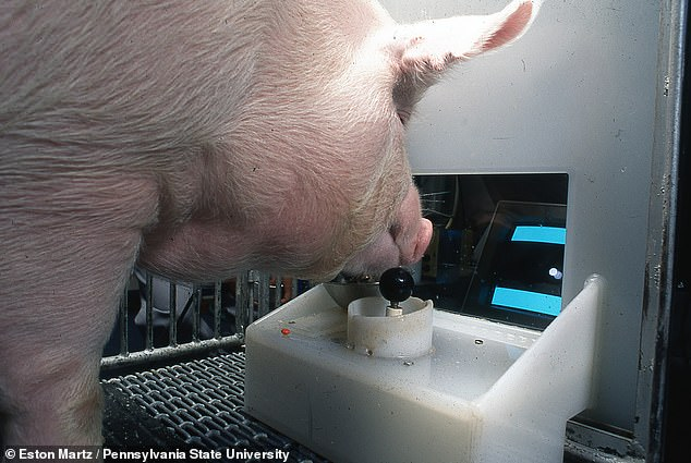Pigs are capable of learning how to play simple video games, scientists have demonstrated, showing the animals to be more intelligent than was thought. Pictured, one of the Yorkshire pigs in the study uses its snout to manipulate a joystick and move the on-screen cursor