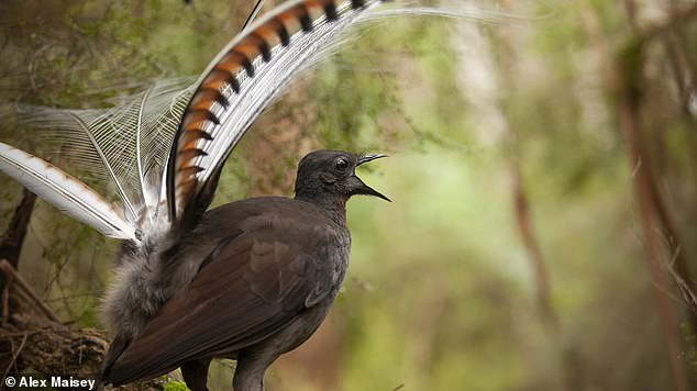 Male Superb Lyrebirds (like pictured) imitate the sound of a flock defending itself in order to trick females into thinking the safest place to be is having sex with them, a study has found