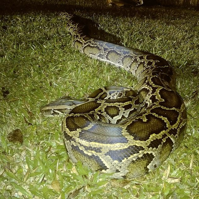 Theinvasive Burmese python that contains squalene, which is a compound used in vaccines that stimulates a stronger immune response. It isis a naturally occurring oil-like substance found in nature and is commercially extracted from fish oil
