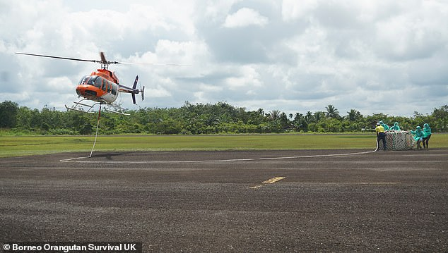 To get home, the apes were airlifted by helicopter (pictured) from the sanctuary, took a journey through the jungle in a 4-wheel drive vehicle and sailed along the jungle river in a boat