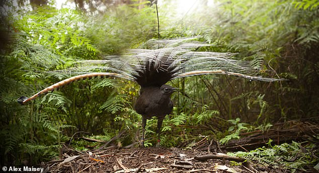 'Male superb lyrebirds regularly create a remarkable acoustic illusion of a flock of mobbing birds and, in so doing, create a complex but potent cue of a hidden predator,' said paper author and ornithologist Anastasia Dalziell of Cornell University. Pictured: a male lyrebird