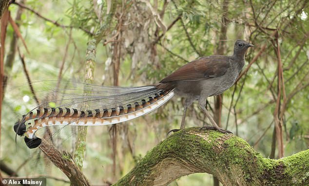 Superb lyrebirds are among nature's best mimics , have the most developed vocal organ of all songbirds and copy other birds' songs, animals and even chainsaws. Pictured, a male lyrebird