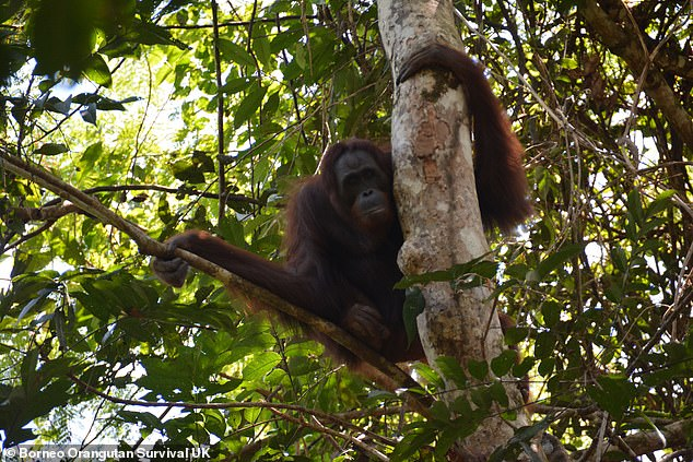 'Today's announcement brings such joy after a full year of not being able to release orangutans,' said BOS UK Managing Director Ben Callison. 'The only way to ensure the long term survival of the orangutan species is to secure and grow the wild populations, which today has increased by ten'