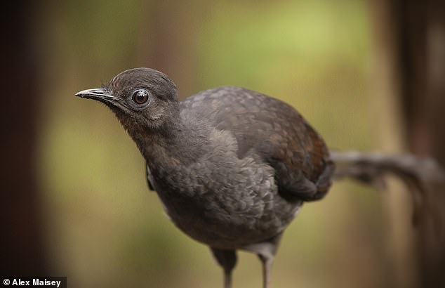 Experts from the US and Australia discovered that male superb lyrebirds mimic the cacophony of a mobbing flock to scare females of the species (pictured) into copulating with them