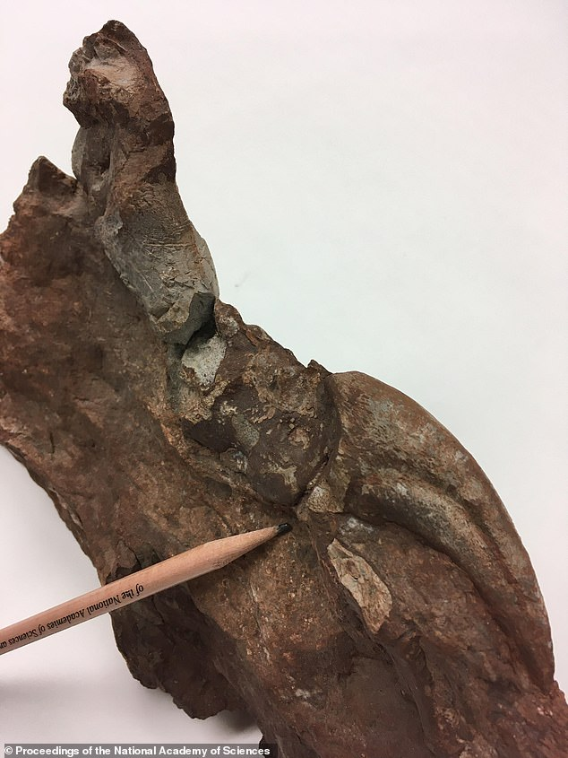 These results show that sauropodomorphs showed up in what is now Greenland around 214 million years ago. The team then looked at the climate during this time period and found Earth was experiencing a dip in CO2. Pictured is a fossil uncovered in Greenland