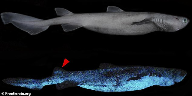 There are a number of deep sea creatures that glow-in-the-dark, but a team studying marine life have the first 'giant luminous shark.' Researchers spotted the kitefun shark off the eastern coast of New Zealand during a survey last year
